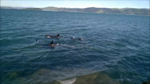 Orca at Point Halswell, Wellington